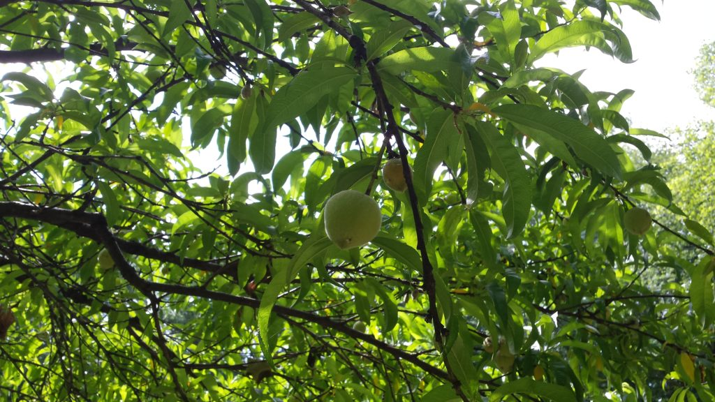 peach tree at the garden with nice fruit.