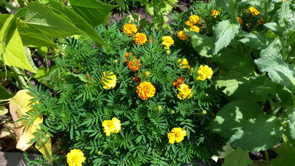 Magnificent Marigolds in our garden.