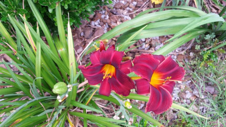 We inherited a lilly garden with our new house. The different types and colors of lillies are beautiful in the summer.