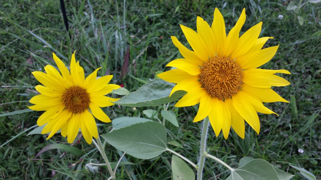 Summer Sunflowers growing from dropped birdseed from our bird feeder.