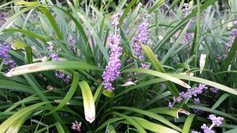 Liriope blooms