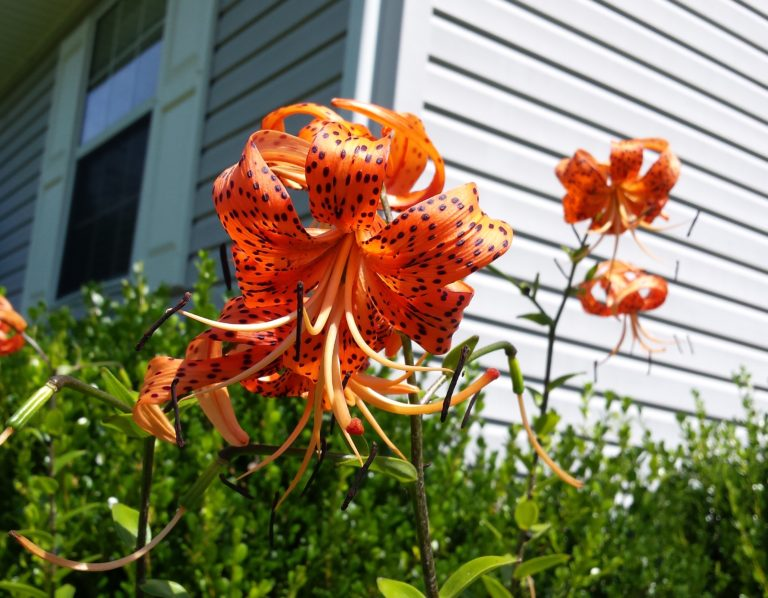 Tiger Lilly bloom